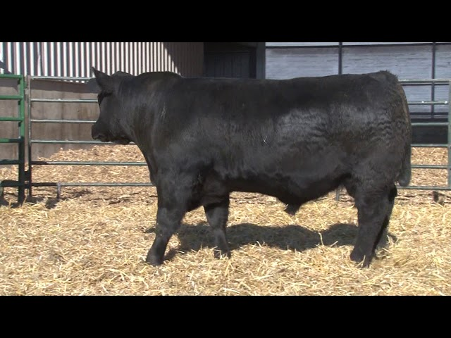 Schiefelbein Angus Farms Lot 250
