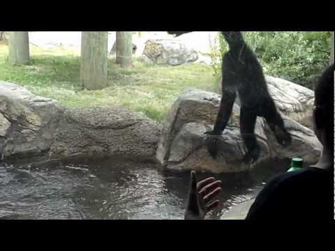 Gibbon at Memphis Zoo entertaining everyone