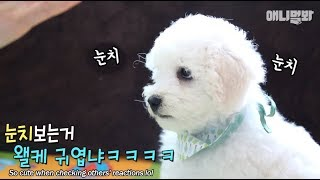 baby-bichon-is-cuteness-overload-but-there-s-7-more-of-them
