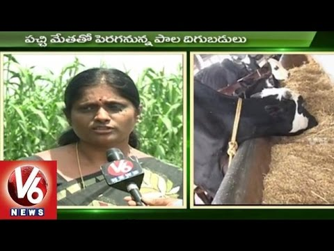 Sagubadi | Dairy Farming Techniques | Dairy Industry | Cattle Fodder | Agriculture News l V6 News