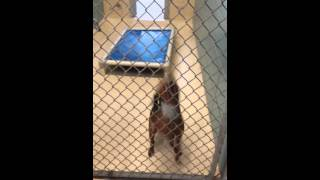 Pinscher Mix Up For Adoption In Tampa