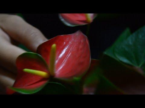Anthurium Mighty Green