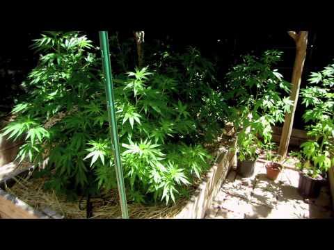 Grow Cannabis – Jorge's Garden Day 23 – by Jorge Cervantes