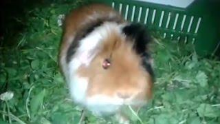 Handsome Jenci eating (US-teddy guinea pig) - US-teddy tengerimalac
