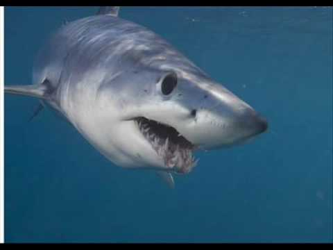 Shark Pictures Short Fin Mako