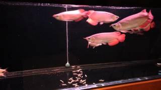 vuclip Ikan Arwana Satu Akuarium 7 Ekor (bag 2) Super Red