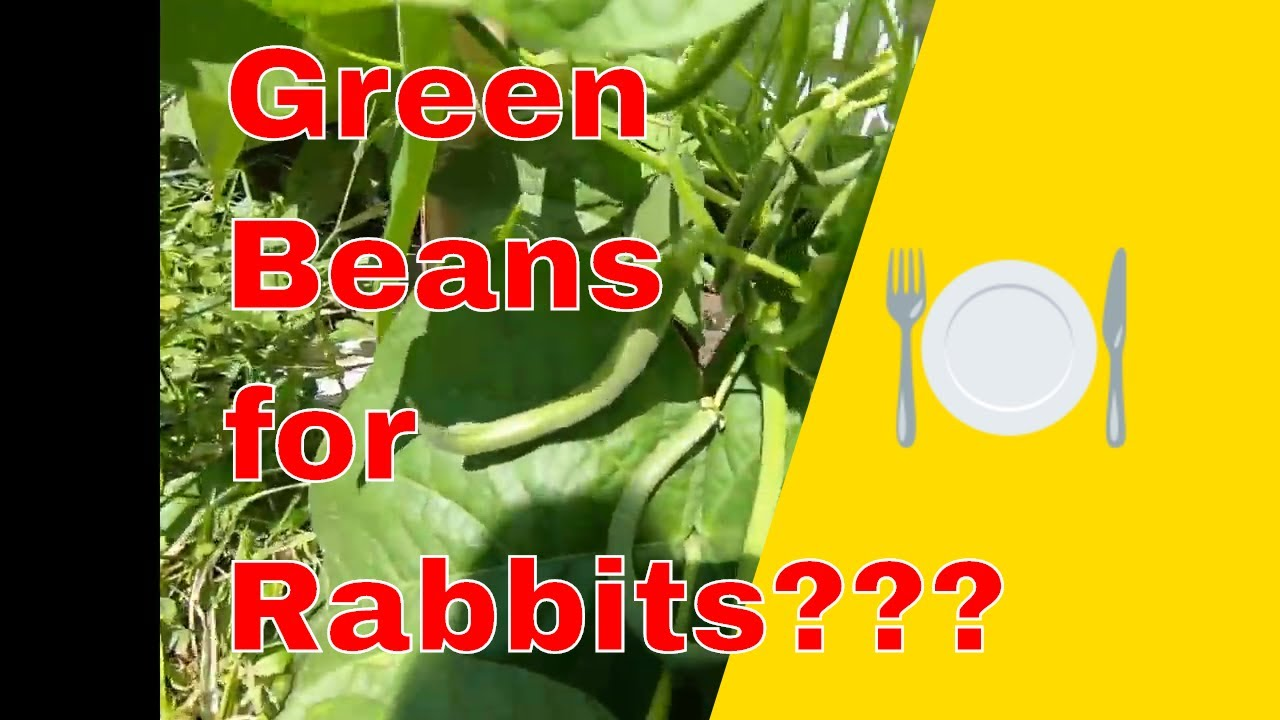 How to feed rabbits green beans and green bean plants