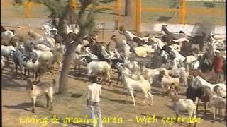 Goat Farm - malf