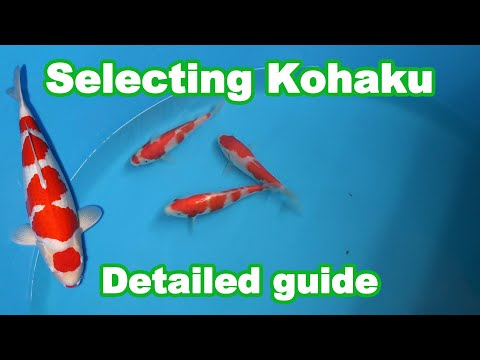 Kohaku Koi Selection | How To Select A Good Quality Kohaku Koi?