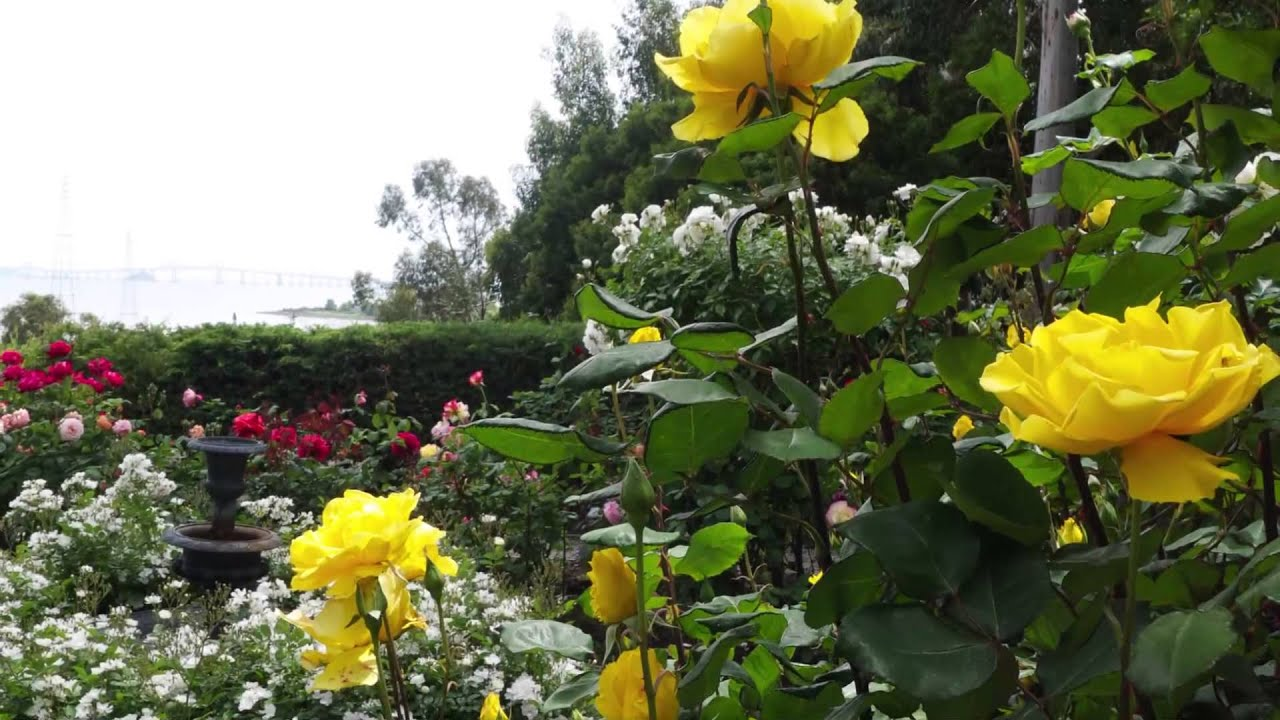 Learn more about the Marin Rose Society with A Celebration