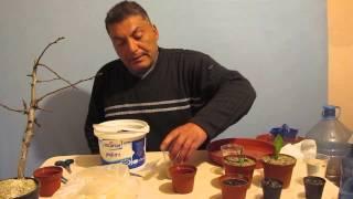 Limon çekirdeğini çimlendirme ve çimlenen çekirdekleri Saksılama