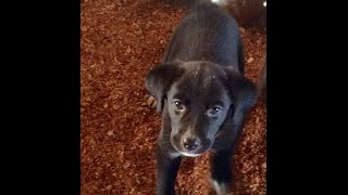 4 Black Lab Mix Puppies With Florida Pointer Rescue For Adoption