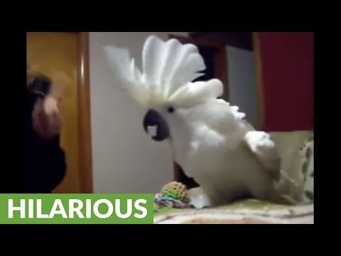 Cockatoo engages in hilarious argument with owner