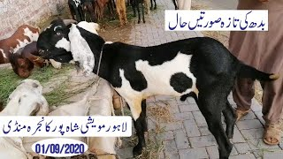 Latest Wednesday Update Mandi Ma Mall Kam Q Lahore Mandi Shahpur Kanjra Mughal Goat Farm Official