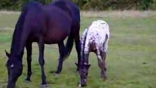 2007 Appaloosa Filly Foals