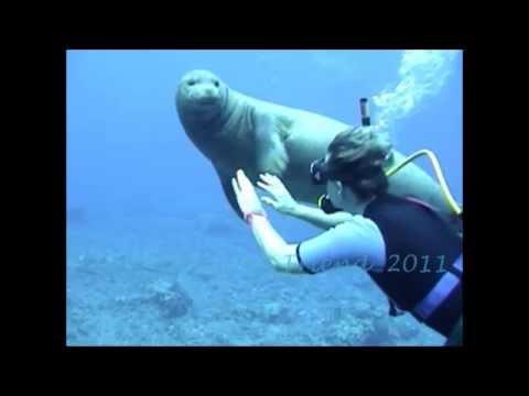 Hawaiian Monk Seal R307 @ Molokini Island Maui Hawaii Part 3