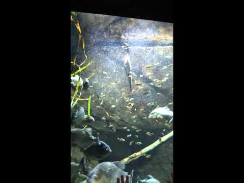 Piranha's in a feeding frenzy!