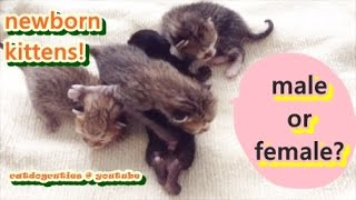 How to Determine the Gender of Your Kitten - Newborn Kittens | Catdogcuties