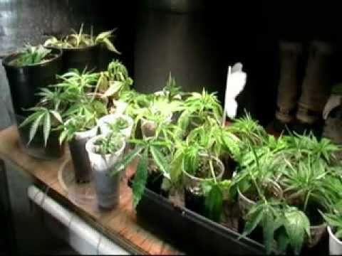how i clone my mother marijuana plant youtube. Black Bedroom Furniture Sets. Home Design Ideas