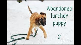 (2) Clicker Training A Neglected Lurcher Puppy, Update