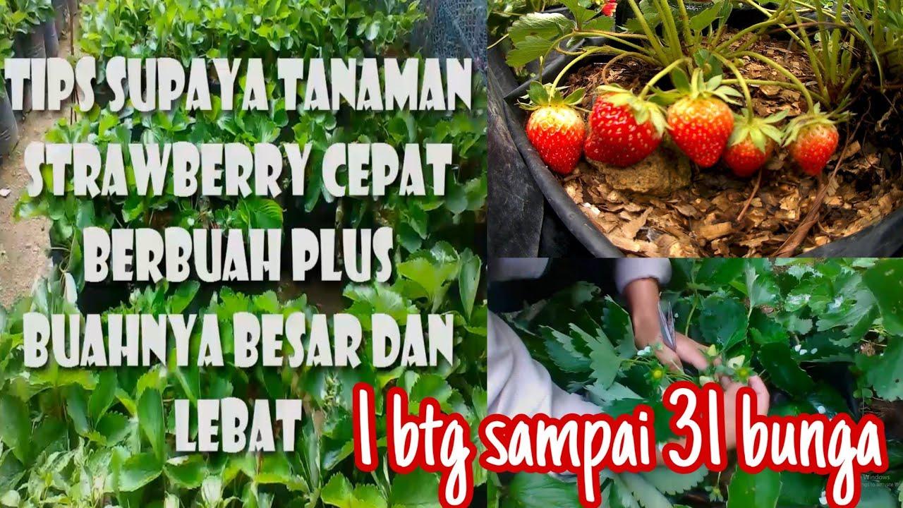 Tips Supaya Strawberry Cepat Berbuah Dan Buahnya Besar Stia Horbo Youtube