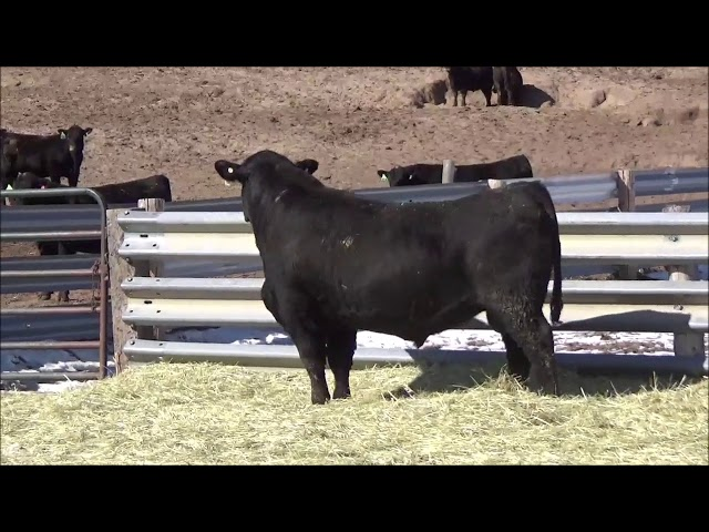 Connealy Angus Lot 503