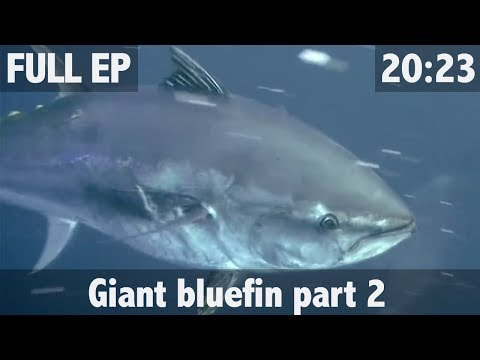 GIANT BLUEFIN TUNA FISHING IN NEW ZEALAND PART 2