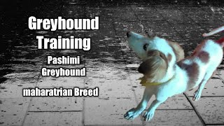 Greyhound Dog Breed & Greyhound Training ❤❤