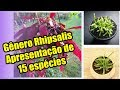 APRESENTAÇÃO DE 15 ESPÉCIES DE CACTOS DO GÊNERO RHIPSALIS