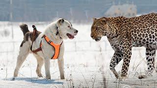 Central Asian Shepherd Dog - 中央アジアの古代の品種。人工的な選択の...