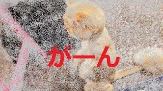 【癒されます】猫がサマーカットをしてもらった結果 引用元:http://grap...