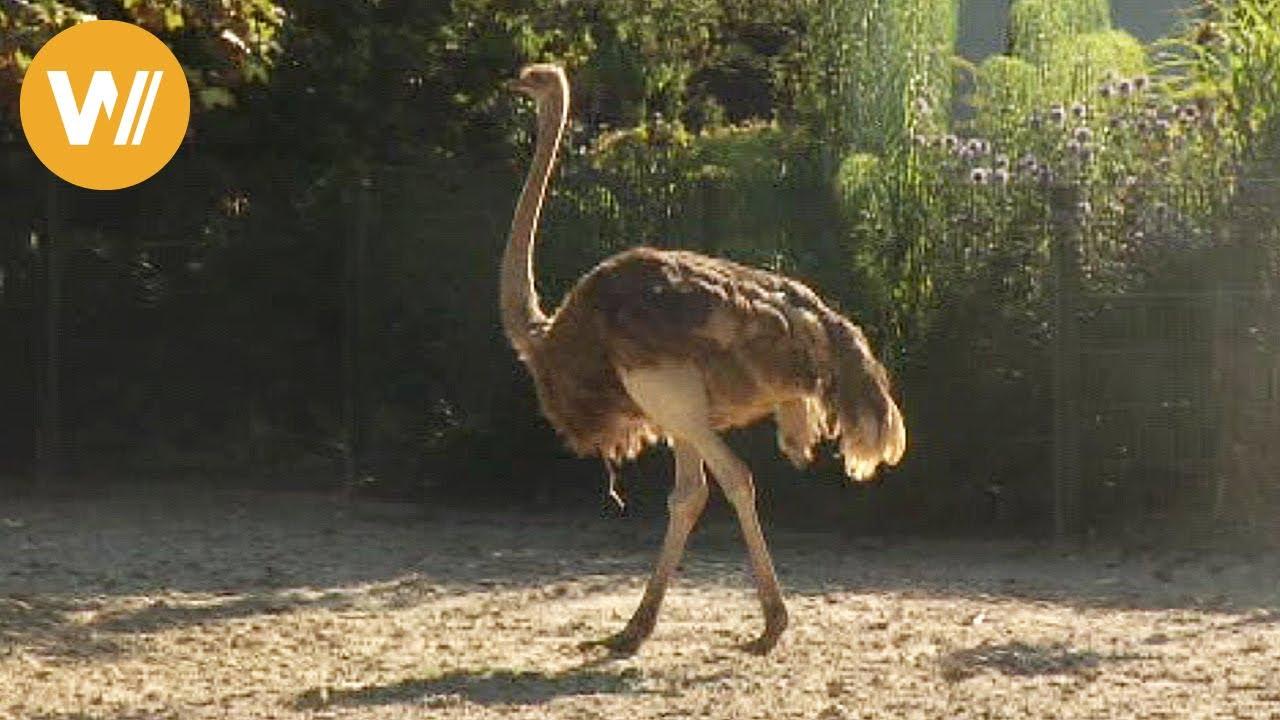 Strauß Unsere Tierwelt Kurze Tierdokumentation Youtube