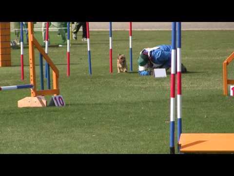 norfolk terrier /agility 2009-3-28