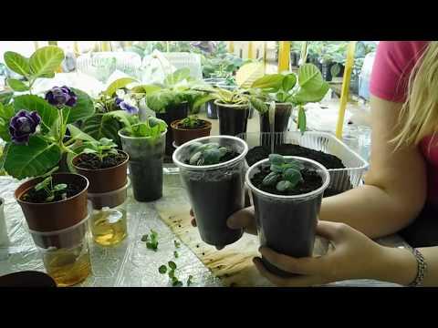 🌴Гибискус из семян выращивание в домашних условиях 🌱