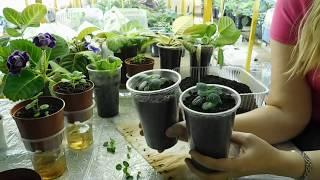Гибискус из семян выращивание .