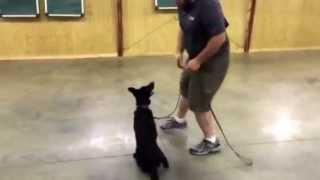 "Happy Obedience Trained German Shepherd ""julchen"" 6 Months Old Fun Family Dog For Sale"
