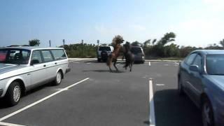 Wild stallions fight over mare