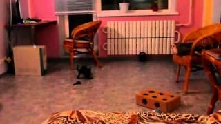 Кошка  породы Бурма .