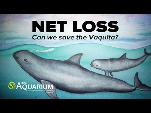 Net Loss: New Abundance Estimate Reveals That  Mexico's Vaquita Faces Imminent Extinction
