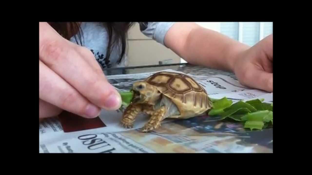 Hand Feeding a Baby Sulcata Tortoise