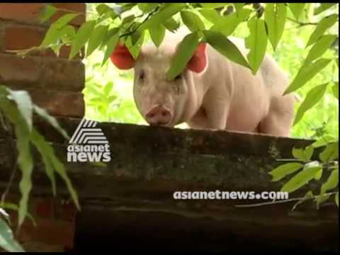 Trapped pig in Terrace | LENS 6 SEP 2018