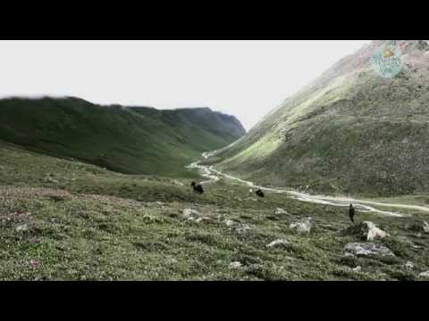 The nomadic pastoralists of Lachen-A Himalayan story