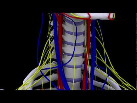 Chiropractic Neck Anatomy