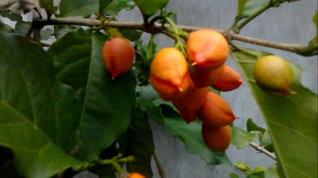 Rare Fruit Peanut Butter Fruit Bunchosia Armeniaca Buah