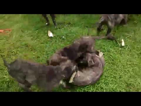 deerhound puppies 8 weeks