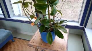 A Visit with Hoya benitotanii