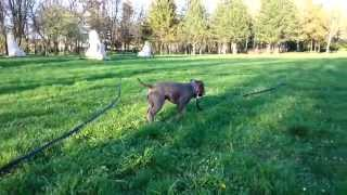 Staffordshire Bull Terrier Playing Fetch