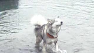 Alaskan Malamute アラスカンマラミュート 銀の川原遊び・・・ 大切なヌ...