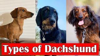 Different Types of Dachshunds Dog Breeds   Dachshund dog types