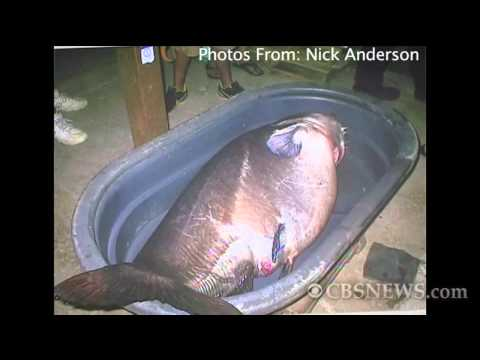 CATFISH WORLD RECORD MONSTER FISH 127 KGS IN SPINNING by CATFISHING WORLD from YouTube · High Definition · Duration:  3 minutes 1 seconds  · 40,000+ views · uploaded on 11/14/2016 · uploaded by Catfish World by Yuri Grisendi